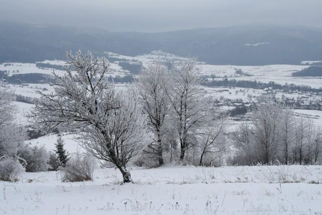 Białe drzewa - kliknij żeby powiększyć