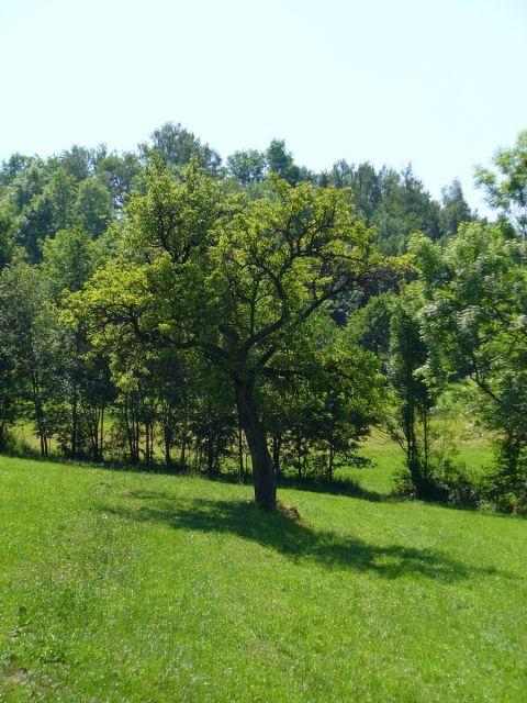 Cień drzewa - kliknij żeby powiększyć