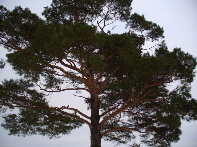 Drzewo na tle nieba - kliknij żeby powiększyć