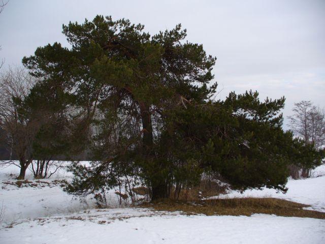 Drzewo - kliknij żeby powiększyć