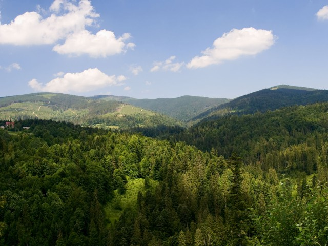 Górski las - kliknij żeby powiększyć