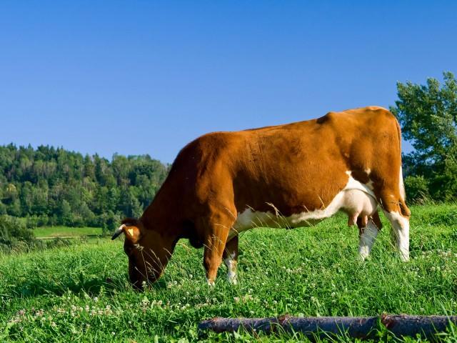 Krowa - kliknij żeby powiększyć