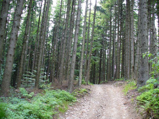 Las - kliknij żeby powiększyć