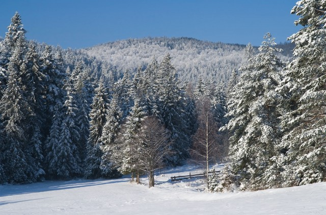 Zimowy las - kliknij żeby powiększyć