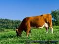 Krowa w Sidzinie