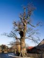 Nagie drzewo w Sidzinie
