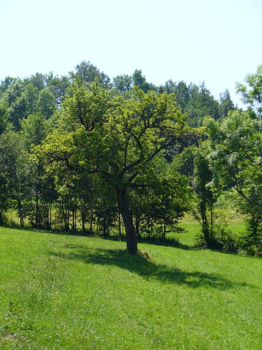 Cień drzewa