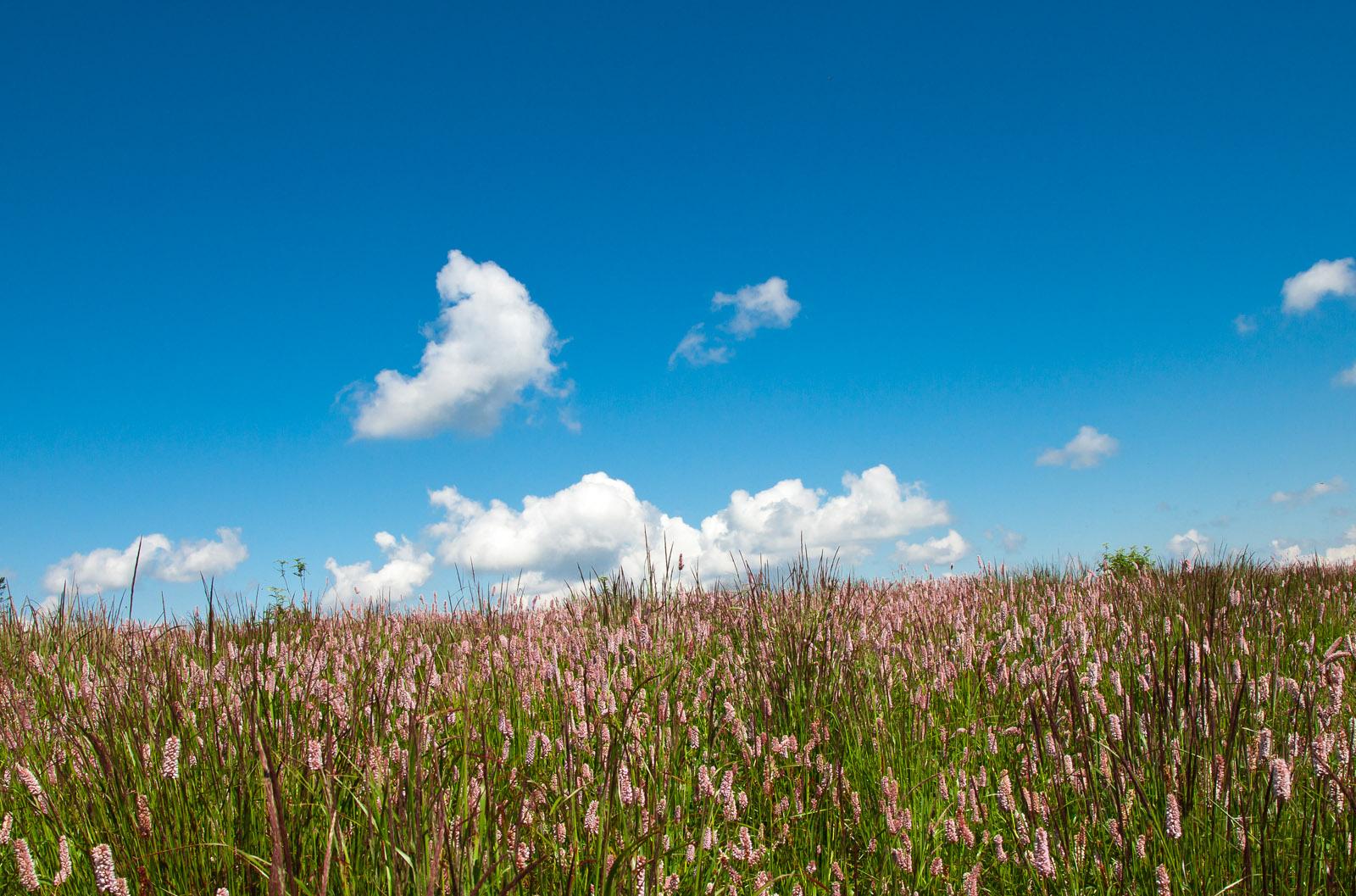 Różowa łąka